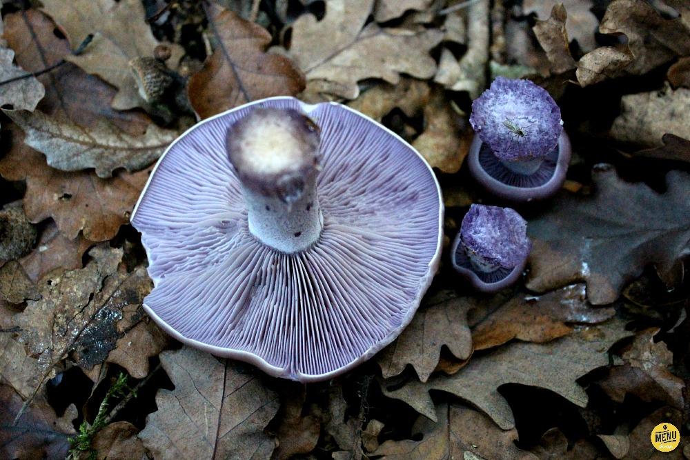 čirůvka fialová